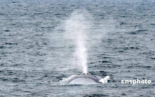 资料图:2009年6月末,世界上最大的动物蓝鲸现身南加州洛杉矶,长滩
