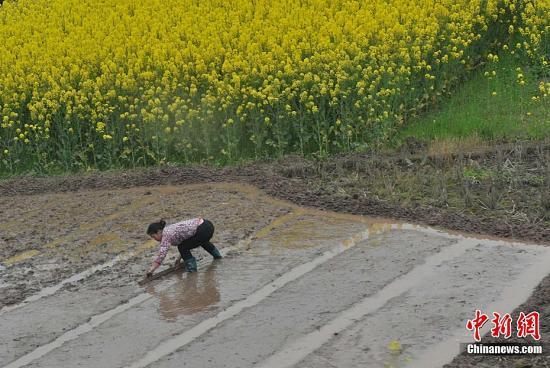 四月清明时节,春风又渡三年前被汶川大地震摧毁最严重的四川省北川羌族自治县,农家幸存者伴随油菜花又开始在水田里辛勤地准备育秧。发 贾国荣 摄