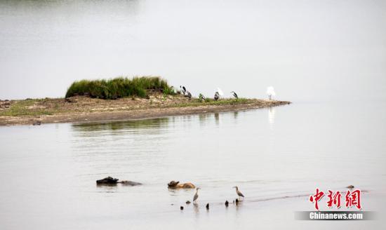 5月底,因持续干旱,位于岳阳的东洞庭湖湿地出现湖床开裂,因为缺水,浅水植被破坏、动物栖息地发生变化,洞庭湖生态链受到严重威胁。图为干旱影响了洞庭湖动物们的栖息地。 杨华峰 摄