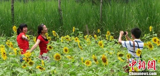 资料图:游客在广西阳朔十里画廊景区的向日葵地里拍照。中新社发 张立波 摄
