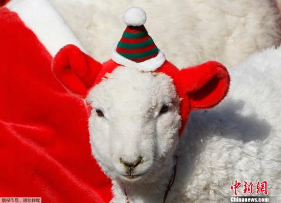 资料图:当地时间2011年11月24日,圣诞老人领着换上圣诞装的小羊羔游行。