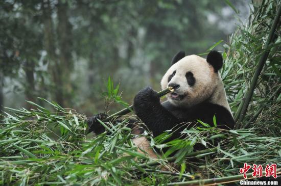 """2011年,12月3日,大熊猫""""甜甜""""和""""阳光""""从四川雅安碧峰峡启程,正式踏上英国之旅。这两只出生于2003年的大熊猫为一雌一雄,目前正处于生育能力旺期,根据中英两国此前签订的大熊猫科研合作协议,""""甜甜""""和""""阳光""""将被送往英国爱丁堡动物园进行交流,为期10年。图为大熊猫""""阳光""""正在吃临行前的最后一顿午餐。<a target='_blank' href='http://www.chinanews.com/'>中新社</a>发 张浪 摄"""