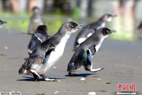 """12月8日,在新西兰陶兰加的一个海滩,一群小蓝企鹅被人们放归大海。10月5日,利比里亚货轮""""雷纳""""号在新西兰北岛东部海域触礁,造成严重漏油事故,这群被油污污染的小蓝企鹅得到人们的救助。"""