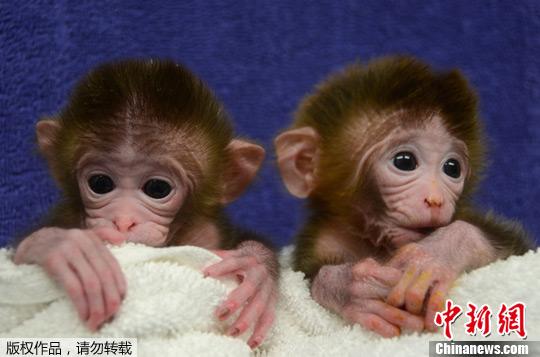 """资料图:美国俄勒冈卫生科学大学培育出6个不同的恒河猴胚胎细胞,并培育出全球首批3只混合胚胎猴子。图为混合胚胎猴子""""Roku""""左和""""Hex""""一同亮相。"""