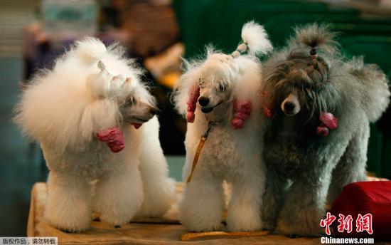 资料图:精心打扮的宠物狗。