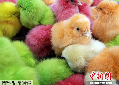 2012年3月28日,黎巴嫩贝鲁特,一个商人在街头贩卖被人工涂成各种颜色的雏鸡,迎接即将到来的复活节。