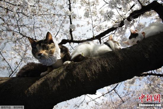 近日,日本樱花盛开,当地民众和游人来到日本皇居外欣赏美丽樱花。图为4月5日,两只小猫趴在樱花树树枝上。