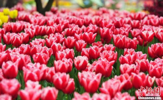 荷兰花卉市场遭遇危机 单日销毁百万束鲜花