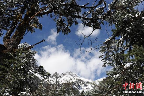 位于四川省甘孜藏族自治州境内的海螺沟冰川最下端的海拔高度仅为2850米,但其冰体厚度达100-300米。据介绍,海螺沟冰川大约生成于1600年前,地质学称其为现代冰川,是贡嘎山最大的一条冰川,长约14公里。随着天气转暖,越来越多的游客选择到此度假旅游。图为针叶林与雪山相映生辉。张浪 摄
