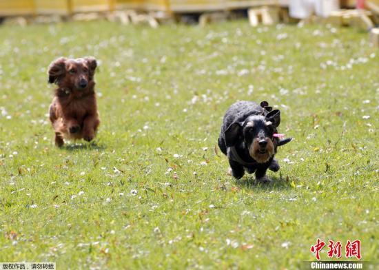 """当地时间2012年4月22日,德国Itzehoe,当地举行的腊肠犬赛跑比赛正在一块草地上进行。在这个传统的趣味比赛中,狗狗们将争夺当地的""""黄金腊肠犬""""这一荣誉称号。"""