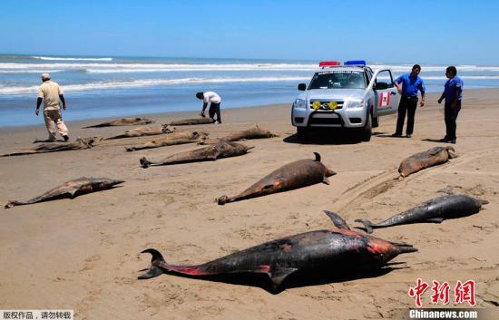 资料图:海豚在海岸搁浅后死亡。