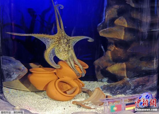 """本地时刻5月29日,生计在德国波尔图市陆地动物水族馆的章鱼""""保罗二世""""在水族箱内猜测欧洲杯冠军。"""