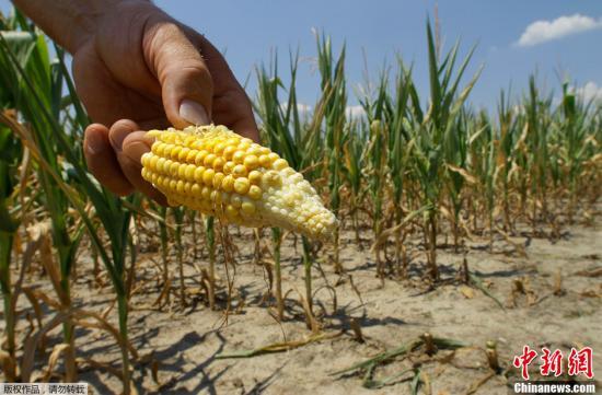 资料图:美国田纳西州一玉米地。