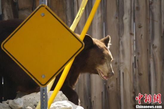 当地时间9月9日,美国加州Montrose,一只黑熊出现在高速公路旁,之后还进入了市区。最终,野生动物保护工作人员成功制服了这只黑熊。