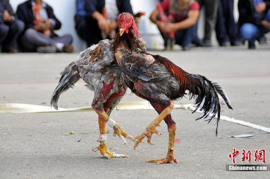 """9月18日,正正在新疆专乐市举行的""""留念察哈我西迁250周年暨2012年专我塔推那达慕草本节""""上,斗鸡是角逐项目之一。本地的斗鸡喜好者们,带着本身经心选育战锻炼的20只斗鸡参赛,正在""""疆场""""上,只要那些具有壮大战役力战顽强意志的斗鸡,才气打败敌手,博得角逐的成功。图为斗鸡用脖子,压住、缠住敌手的脖子,到达歇息战阻遏敌手打击的目标。马新龙 摄"""