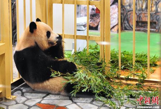 """日本和歌山县一家名为""""冒险世界""""的动物园8月10日新诞下一只雌性大熊猫宝宝,在全国公开征名后被取名为""""优滨""""。这个名字是从公开征名中收到的约2万份投稿中选出的。""""冒险世界""""现在拥有9只大熊猫,在全世界属于第一。图为""""优滨""""的妈妈""""良滨""""。""""良滨""""非常多产,已经产下五只小熊猫,均健康活泼,且都靠""""良滨""""母乳喂养。饲养员说按照目前的情况,""""良滨""""还有继续当妈妈的可能。中新社发 孙冉 摄"""