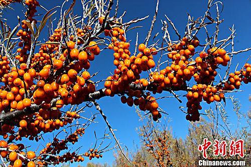 每到10月下旬,额尔齐斯河境内的新疆哈巴河县野生沙棘到了成熟的季节,金黄色的野沙棘形成了一道亮丽的风景。王宏山 摄