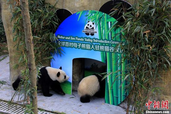 """资料图:图为母子大熊猫""""奇珍""""和""""真真""""正在嬉戏。崔凯 摄"""