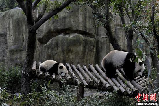 """图为母子大熊猫""""奇珍""""和""""真真""""正在嬉戏。安源 摄"""