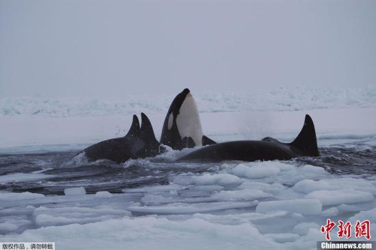 """当地时间1月9日,11只虎鲸受困于冰面覆盖的加拿大哈德逊湾,当地救援人员和周围居民一起出手,合力援救。据悉,虎鲸是哺乳动物,不能在水里呼吸,需要探出水面换气,哈德逊湾大范围水面被冰覆盖,受困虎鲸们在附近冰面上唯一一个缺口""""轮流""""进行换气。"""