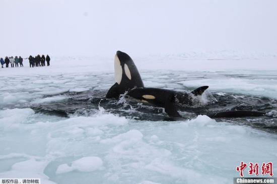 资料图:加拿大哈德逊湾的虎鲸。