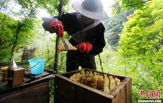 资料图:养蜂人切割蜂蜜。李风 摄