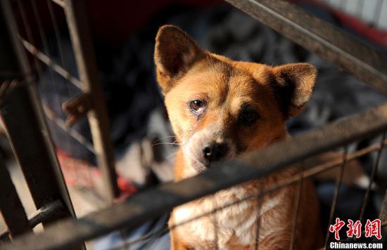 重庆市歌笑山别名64岁的白婆婆15年来收养了100余只漂泊动物,为给它们建造一个喜悦家庭,她花光了本身一生蓄积。白婆婆曾经是重庆主城区的市民,原由收养的漂泊动物逐渐添众,失踪臂家人的指斥,搬到郊区饲养漂泊动物。15年来她共收养了一百余只漂泊狗和三十余只漂泊猫,每天都必要近两百元的支付,养漂泊动物重大的支付已经耗尽了她几十年的蓄积,并将老家房屋的拆迁费用也用来饲养漂泊动物。图为一幼狗刚被白婆婆收养的漂泊狗。陈超 摄