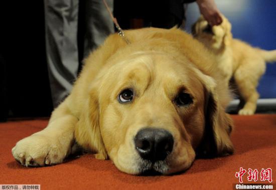 资料图:金毛犬。