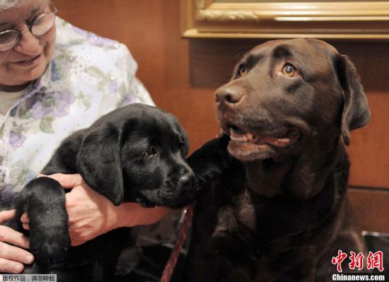 拉布拉多人气高第28年蝉联美国最受欢迎犬种