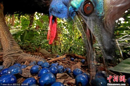 2013年2月15日,第56届世界新闻摄影大赛荷赛获奖结果揭晓,德国摄影师Christian Ziegler在澳大利亚拍摄的?#28595;?#26041;食火鸡?#34987;?#24471;自然类单幅一等奖。 图片来源:CFP视觉中国 (WPP供图)
