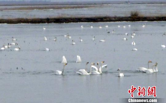资料图:黄河开河,数百只天鹅在水面上嬉戏、打闹、捉鱼。中新社发 董乐 摄