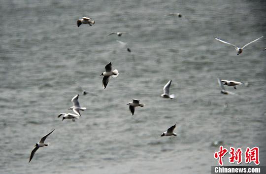 資料圖:海鳥。<a target='_blank' href='http://www.chinanews.com/'>中新社</a>發 于海洋 攝