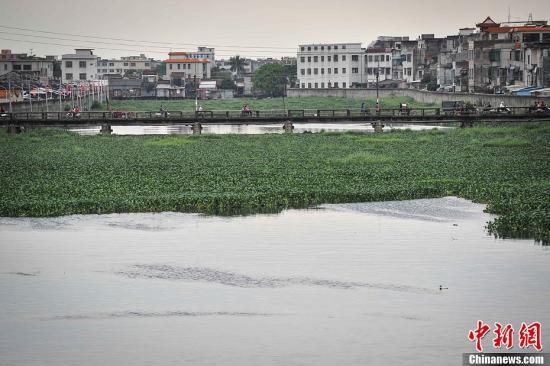 练江为流经广东潮汕地区的一条河流,在上世纪60年代,曾作为当地居民的饮用水源。但随着练江流域经济发展和人口膨胀,大量工业、农业、生活污水被排入江内。自上世纪90年代,练江水治理问题就倍受媒体聚焦。4月6日,记者探访练江位于广东汕头市潮阳区的一段流域,这段流域河水呈黑色,散发恶臭,水面漂浮着大量垃圾和水浮莲,治理状况依然令人不容乐观。图为练江部分水面被大片水浮莲所占据。洪坚鹏 摄