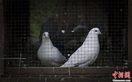 4月11日,位于南京中山陵音乐台回音壁背后的鸽舍内,鸽子被关闭在舍内。针对H7N9禽流感疫情,游客集中的中山陵音乐台五百余只鸽子目前已停止放飞,并采取对鸽笼一天两次消毒、定期接受禽流感预防针注射等一系列措施,严防疫情。<a target='_blank' href='http://www.chinanews.com/'>中新社</a>发 泱波 摄