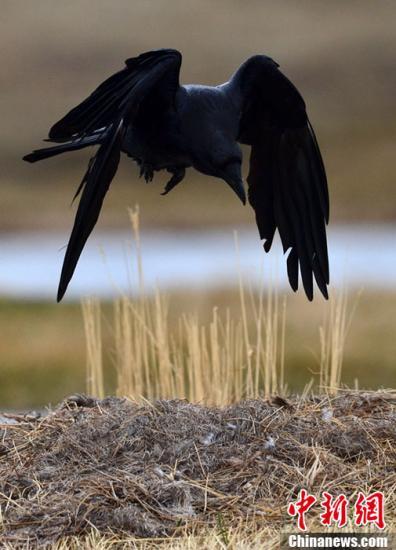 图为一只乌鸦飞落在自己的蛋巢上。确·胡热 摄
