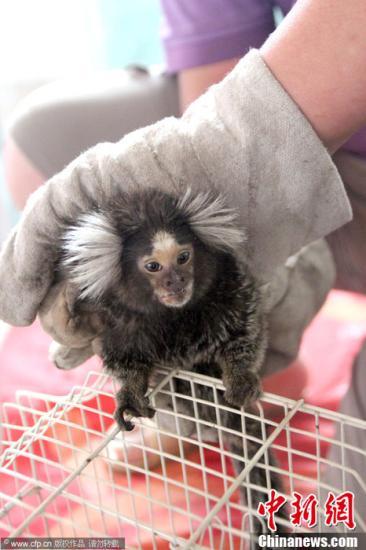 资料图:南美狨猴。图片来源:CFP视觉中国