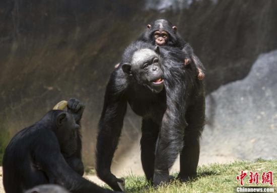 研究:黑猩猩能理解猜拳 理解力相当于4岁儿童