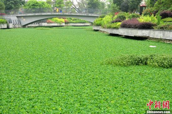 资料图:福州仓山金港河河水富营养化严重水浮莲疯长,近四百米的河面被水浮莲覆盖。张斌 摄