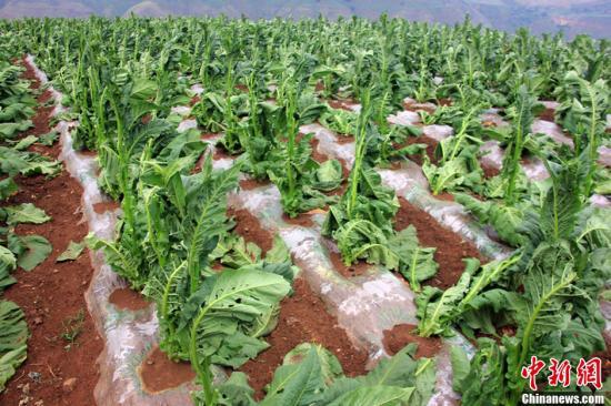 资料图:冰雹造成农作物受损。图片来源:CFP视觉中国