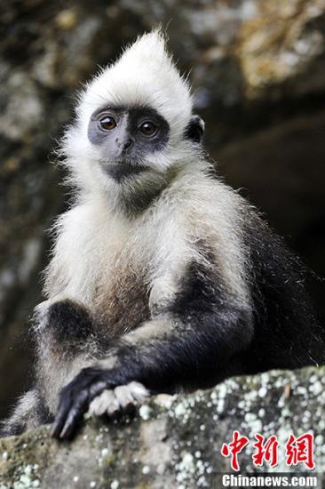"""在7月29日至31日召开的""""崇左中国叶猴保护国际论坛暨中国灵长类专家组2013年年会上,专家指出,栖息地的破坏、人为猎捕、人为因素导致种群间的隔离,是对灵长类构成威胁的主要三个方面,白头叶猴的保护任重道远,希望社会各界共同捍卫这一珍贵物种的唯一栖息地,确保白头叶猴种群的健康发展。在中国广西西南部崇左市秀丽而宁静的喀斯特石山区中,出没着一种仅存于此地的世界极度濒危动物——白头叶猴。白头叶猴俗称乌猿、白乌猿、白叶猴等,是中国特有的国家一级保护动物,也是唯一由中国专家命名、全球25种最濒危的灵长类动物。它是亚洲叶猴的一种,是以树叶为主要食物的植食性旧大陆猴类,幼年时一身金黄色毛发,成年之后头部、..."""
