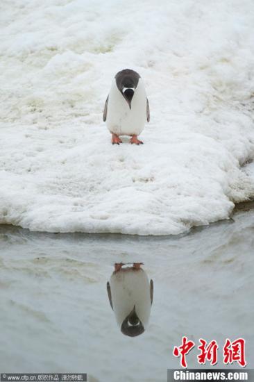 累惨了!新西兰企鹅为觅食游2500