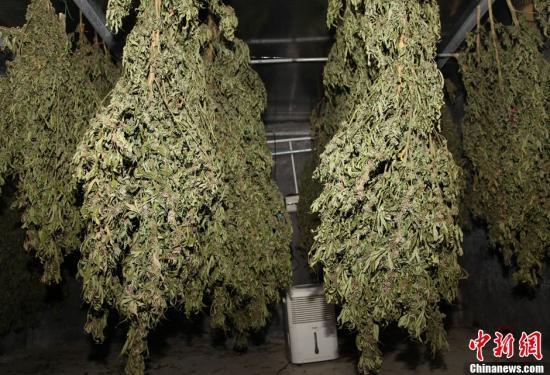 原料图片:烘干后的大麻。