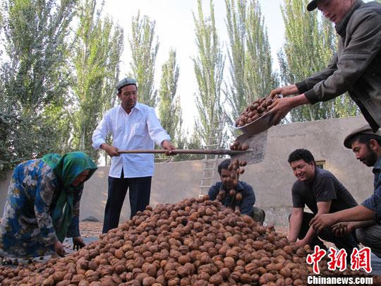 资料图:农民忙着将丰收的新鲜核桃平铺在地上进行晾晒。<a target='_blank' href='http://www.chinanews.com/'>中新社</a>发 杨�� 摄