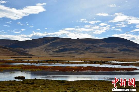 资料图:一群牦牛在水草丰美的三江源隆宝滩湿地悠然觅食。中新社发 赵帅 摄