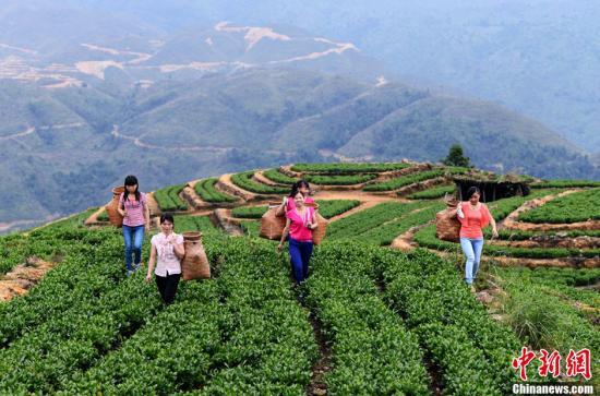资料图:福建泉州安溪县采茶女到海拔上千米的茶山上采摘上等茶叶。王东明 摄