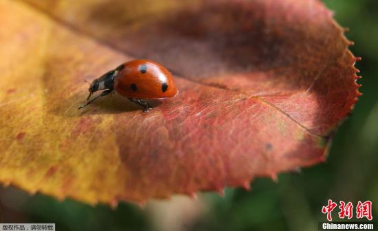 材料图片:瓢虫。