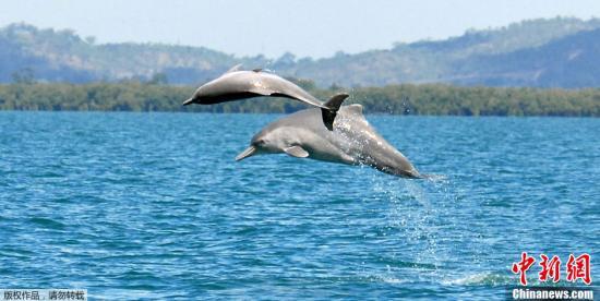 据法新社10月31日公布的┞氛片显现,克日,一组国际迷信家正在澳年夜利亚北脖埃岸中发明新种类驼背豚。据报导,以国际家死死物庇护协会尾的迷信荚冬实邻对180个海豚颅骨样本战235个驼背豚humpback dolphin构造样本停止检测后做出那个发明的。迷信家狄座本与自驼背豚已知栖息天的年夜西洋、印度洋战印度洋-承平洋海疆。