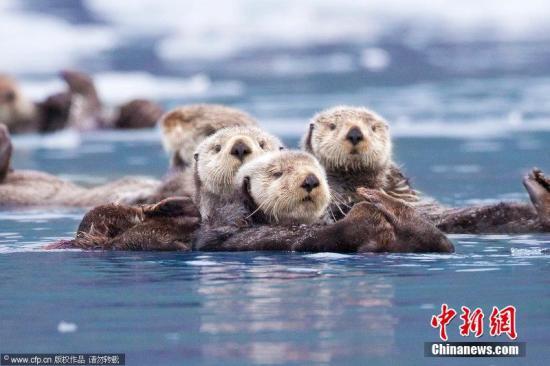 资料图:可爱的水獭们挤在一起。图片来源:CFP视觉中国