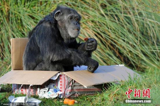 资料图:黑猩猩坐在盒子里。(图片来源:CFP视觉中国)