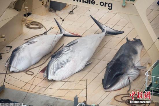 据外媒1月6日报道,反捕鲸人士表示,他们关注的日本捕鲸船队6日在南太平洋进行捕鲸活动,已经有至少四条鲸鱼被宰杀。图为反捕鲸团体公开的三条死亡小须鲸在其中一艘日本船只的甲板上的照片。该团体判断,还有一条小须鲸应该也遭到捕杀。